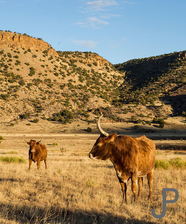 Longhorn cattle on a ranch in far northeast New Mexico
