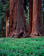 Lupine, Lupinus sp., blooming below Giant Sequoias, Sequoiadendron giganteam, Sequoia National Park, California.