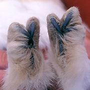 Snowy Owl, (Nyctea scandiaca) Close up of feet of adult. Barrow, Alaska.