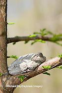 02449-005.06 Gray Treefrog (Hyla versicolor) on Bald cypress tree, Little Black Slough, Cache River SNA, IL