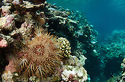 Crown-of-Thorns Sea Star (Acanthaster planci)<br /> on coral reef<br /> Fiji. South Pacific<br /> Can be very damaging to coral reefs