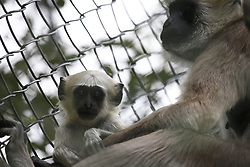August 4, 2017 - Lalitpur, Nepal - A baby Langur sits beside another inside their enclosure at a zoo in Lalitpur, Nepal on Friday, August 04, 2017. (Credit Image: © Skanda Gautam via ZUMA Wire)