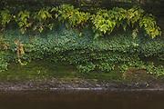 The green of ferns and liverworts growing on sandstone cliff just next to water level by river Loja, Gauja National park (Gaujas nacionālais parks), Latvia Ⓒ Davis Ulands | davisulands.com