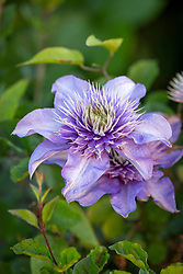 Clematis - check i.d maybe Crystal Fountain