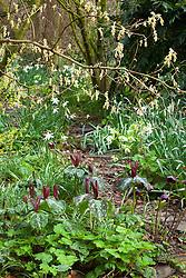 Trillium chloropetalum and Narcissus 'Thalia' growing under Corylopsis pauciflora in the woodland garden at Glebe Cottage