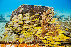 Schooling French Grunts, Haemulon flavolineatum, Bluestriped Grunts, Haemulon sciurus, and Lane Snappers, Lutjanus synagris, over Sugar Wreck, the remains of an old sailing ship that grounded many years ago, West End, Grand Bahamas, Atlantic Ocean
