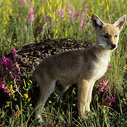 Coyote (Canis latrans).  A young pup in wildflowers during the summertime.  Captive Animal.