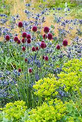 Allium sphaerocephalon with Eryngium x zabelii and Euphorbia characias at Broughton Grange