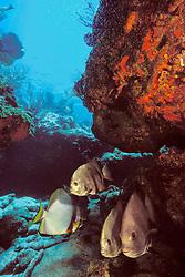 """Pacific"" Pinnate Batfish, Platax pinnatus, with Atlantic spadefish, Chaetodipterus faber, Benwood ship wreck, Molasses Reef, Key Largo, Florida Keys National Marine Sanctuary, Atlantic Ocean."