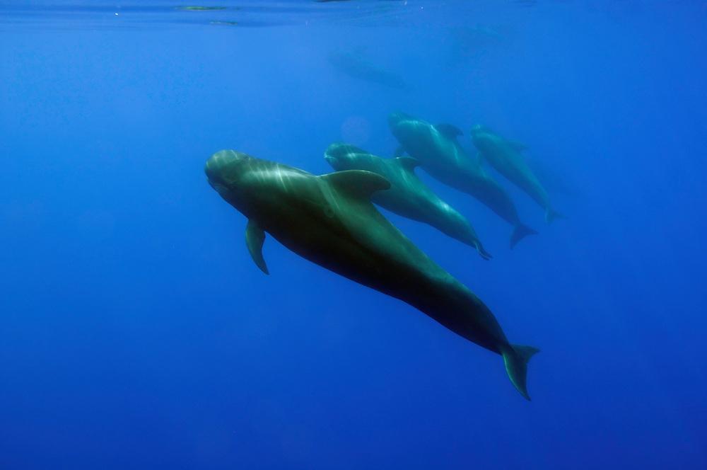 Short-finned pilot whale, Globicephala macrorhynchus<br /> Pico, Azores, Portugal