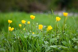 Creeping Buttercup in a field. Ranunculus repens