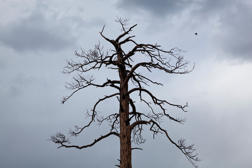 A bird flies past a dead ponderosa pine (Pinus ponderosa) killed in a forest fire in the Lost Creek Wilderness, Colorado.