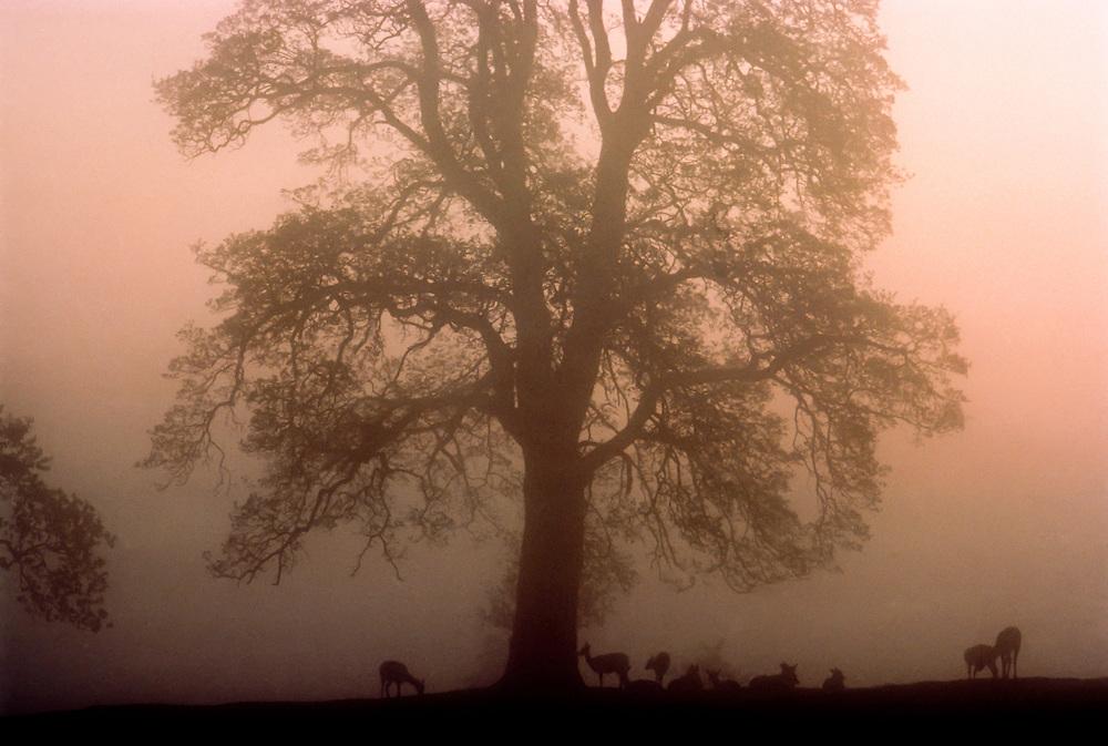 Deer grazing under a tree in Northern England.