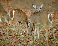 Deer. Image taken with a Fuji X-T3 camera and 200 mm f/2 telephoto lens + 1.4x teleconverter.