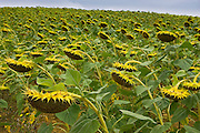Sunflower field, Gascony, France