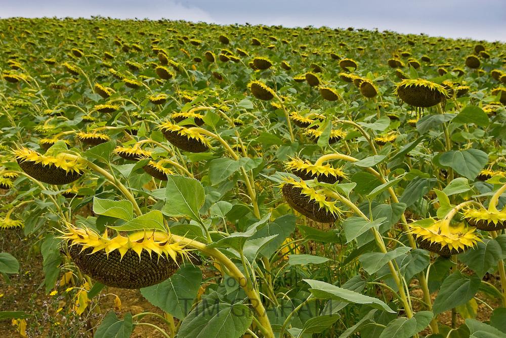 Sunflower field, Gascony, France