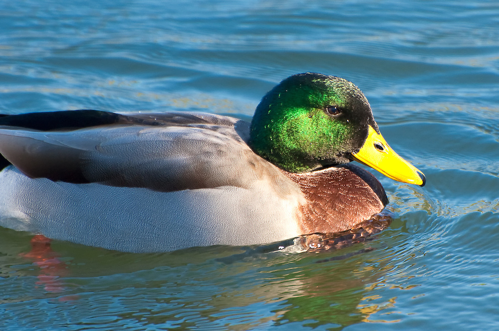 Mallard duck photographed in Tallahassee, Florida.