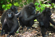 A troup of Celebes Crested Macaques (Macaca nigra) grooming each other, Sulawesi, Indonesia