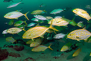 Yellow Jacks, Caranx bartholomaei, hunt Cigar Minnows, Decapterus punctatus, which form a cloud around a Golaith Grouper,Epinephelus itajara, near the wreck of the Mispah offshore Singer Island, Palm Beach County, Florida, United States.