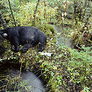 Black Bear (Ursus americanus) male soaked from drenching rain with its head on a tree on an island in a cedar swamp.  Minnesota