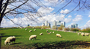 © Licensed to London News Pictures. 21/03/2014. LONDON, UK Sheep graze at Mudchute Farm with the buildings of Canary Wharf in the background today 21 March 2014. Photo credit : Stephen Simpson/LNP