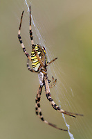 Female Wasp Spider (Argiope bruennichi) in her net at Etang des Boires - an oxbow of the river Allier. Pont-du-Chateau, Auvergne, France.
