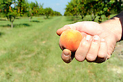 """Farmer Darren Rozell holds a peach at his orchard. The current drought has prevented the peaches from attaining full size during the """"final swelling"""" stage which occurrs at this time of the year. Although the taste becomes sweeter with drier weather, their smaller size prevents them from being sold to fruit stands and grocery stores from Shreveport to Dallas.Photo: Jaime R. Carrero/Tyler Morning Telegraph"""