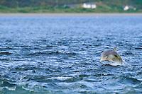 Bottle-nosed Dolphin calf breaching,<br /> Tursiops truncatus,<br /> Moray Firth, Nr Inverness, Scotland - June