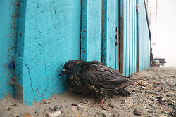 October 8, 2016 - Cocoa Beach, Florida, U.S. - Exhausted and battered, a pigeon takes shelter at the Cocoa Beach Pier on Friday after hurricane Matthew passed to the east on Florida's east coast. (Credit Image: © Douglas R. Clifford/Tampa Bay Times via ZUMA Wire)