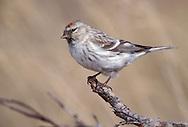 Hoary (Arctic) Redpoll - Carduelis hornemanni - female