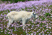 Mountain Goat in wildflowers at Logan Pass, Glacier National Park.