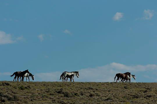 Wild horses, Colorado. Summer.
