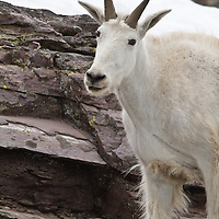 Mountain goats grace the cliffs around Sperry Glacier in Glacier National Park.