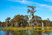 Bald cypress trees deciduous conifer, Taxodium distichum, covered with Spanish Moss in Atchafalaya Swamp, Louisiana USA