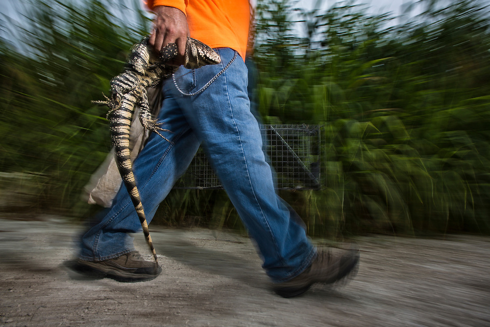 Miami, FL. Tegus are an invasive / introduced species in Florida. An Argentine Tegu is taken out of a trap set in a corn field (Tupinambus Merianae).