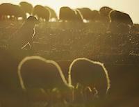 Domestic sheep, Parque Natural Hoces del Rio Riaza, Monejo de la Vega, Segovia, Spain
