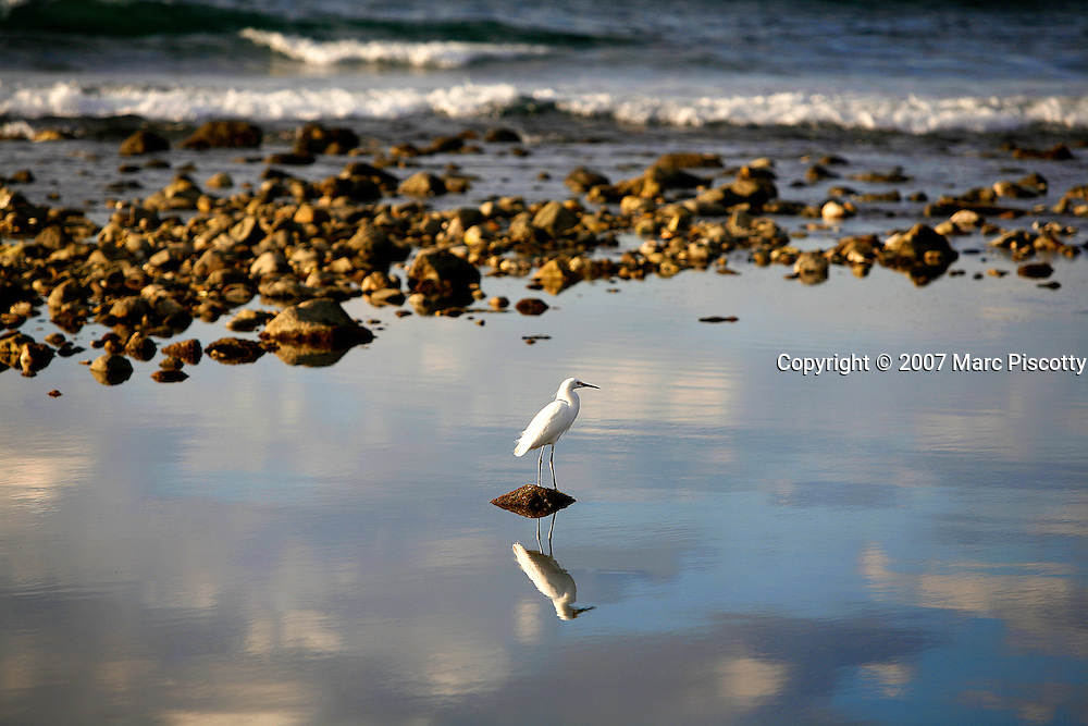 """SHOT 1/18/2007 - A snowy egret fishes in some shallow water as waves crash onto the beach in the background in Sayulita, Mexico. Sayulita is a small fishing village about 25 miles north of downtown Puerto Vallarta in the state of Nayarit, Mexico. Known for its rivermouth surfbreak, roving surfers """"discovered"""" Sayulita in the late 60's with the construction of Mexican Highway 200. Today, Sayulita is a prosperous growing village of approximately 4,000 residents. Hailed as a popular off-the-beaten-path travel destination, Sayulita offers a variety of activities such as horseback riding, hiking, jungle canopy tours, snorkeling and fishing. Still a mecca for beginner surfers of all ages, the quaint town attracts upscale tourists with its numerous art galleries and restaurants as well. Sayulita has a curious eclectic quality, frequented by native Cora and Huichol peoples, travelling craftsmen (and women) as well as by international tourists. Sayulita is the crown jewel in the newly designated """"Riviera Nayarit"""", the coastal corridor from Litibu to San Blas. It's stunning natural beauty and easy access to Puerto Vallarta have made Sayulita real estate some of the most sought after in all of Mexico. An egret is any of several herons, most of which are white or buff, and several of which develop fine plumes (usually milky white) during the breeding season. Many egrets are members of the genera Egretta or Ardea which contain other species named as herons rather than egrets..(Photo by Marc Piscotty © 2007)"""