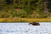 Moose,Glacier National Park