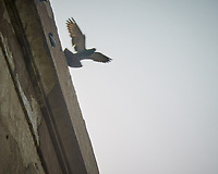 Rock Pigeon. Agra Fort in Agra, Uttar Pradesh, India. Image taken with a Nikon 1 V3 camera and 70-300 mm VR lens.