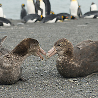 Giant Petrels rest on a beach near a King Penguin rookery at Gold Harbor, South Georgia, Antarctica.