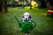"""English Setter Welpe """"Rudy"""" am 04.07.2017 mit einer Gieskanne im Garten. Rudy wurde Anfang Januar 2017 geboren und ist gerade zu seiner neuen Familie umgezogen."""