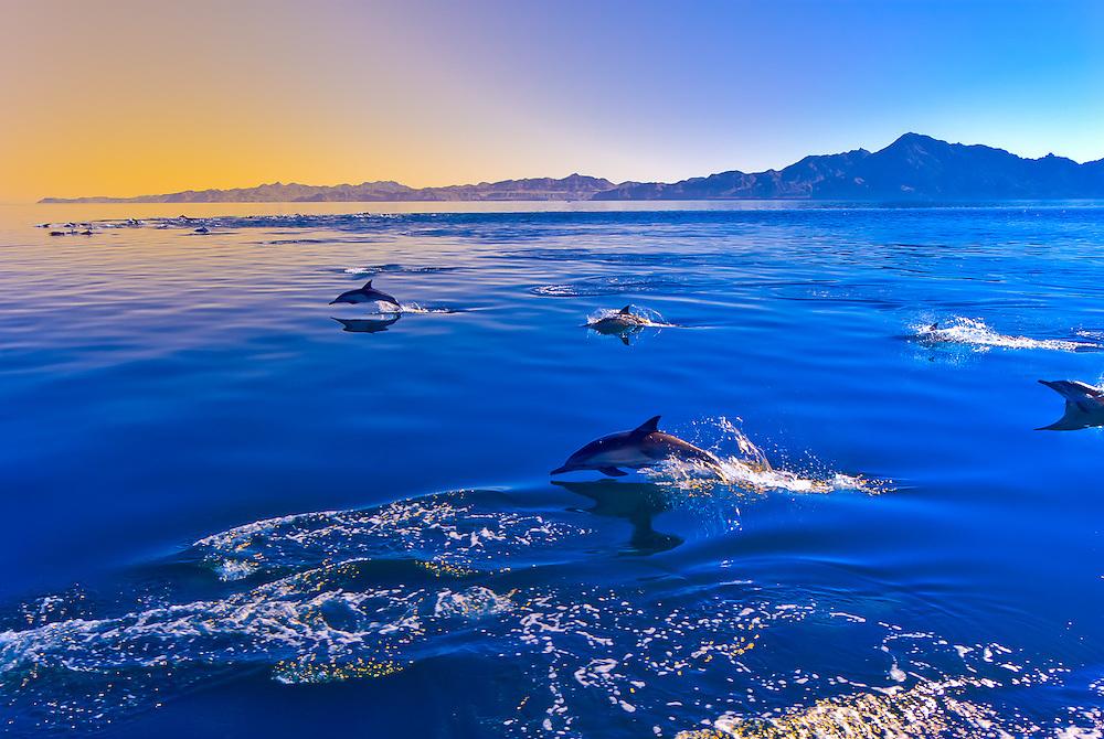 A pod of Pacific White Sided Dolphins, Sea of Cortes, near Puerto Escondido, Baja California Sur, Mexico