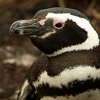 Penguin of the Day