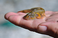 A small cat fish, Glyptothorax dorsalis, on a hand found in a small river, Wuliangshan Nature Reserve, Mount Wuliang Nature Reserve in Jingdong county, Yunnan, China. Glyptothorax is a genus of catfishes order Siluriformes of the family Sisoridae. This species is known from the Salween and Irrawaddy river drainages in Myanmar. Although it has been reported from the Salween River drainage in China.