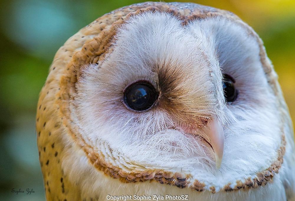 Banshee Barn Owl APCH