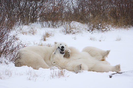 Polar Bear (Ursus maritimus) Young bears playing with each other. Churchill, Manitoba