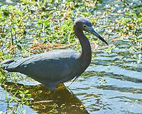 Little Blue Heron (Egretta caerulea). Sawgrass Lake Park. Pinellas County, Florida. Image taken with a Nikon D700 camera and 300 mm f/2.8 VR lens and 2.0x TC-E teleconverter.