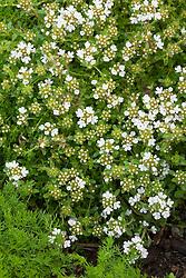Thymus serpyllum 'Alba' syn. Thymus praecox 'Albus'. White creeping thyme