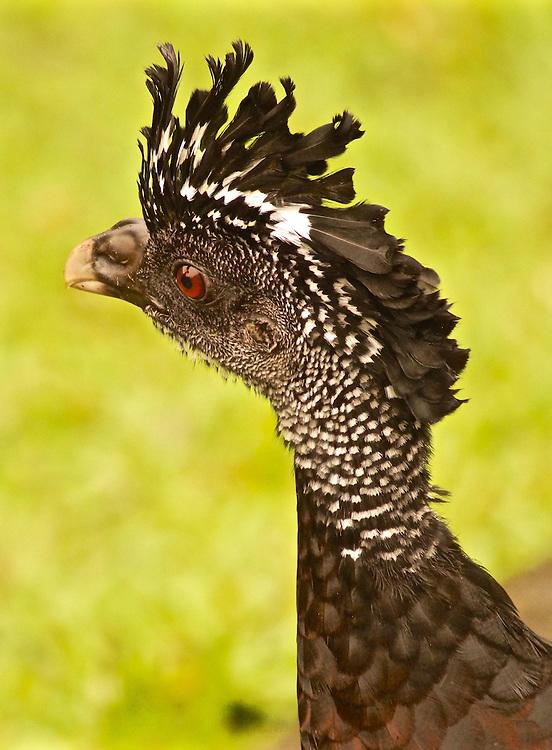 Costa Rica, Female Great Curassow, Crax rubra