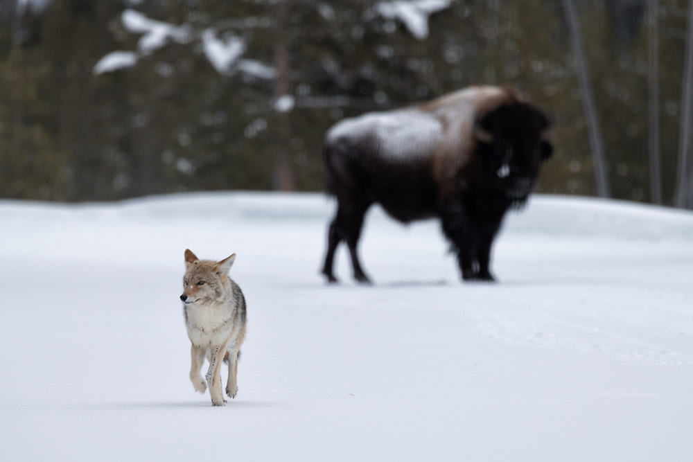 A coyote passes by a bison, keeping its distance.